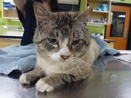 5-year-old male tabby with puncture wounds