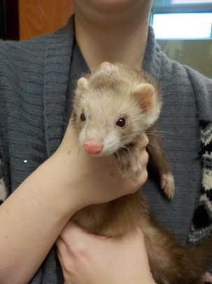Ferret found roaming the streets of NW Portland