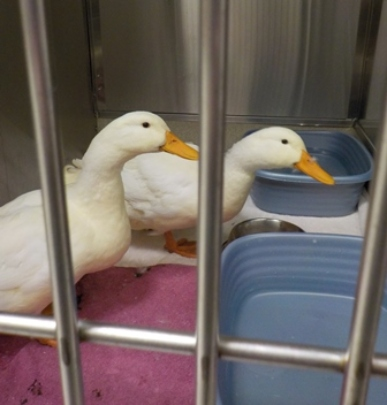 Stray ducks - bonded pair, one with an injured leg