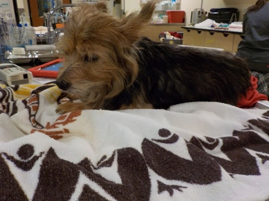 Stray Yorkshire Terrier with Multiple Tumors