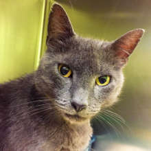 Sweet stray gray cat with fleas and skin lesions