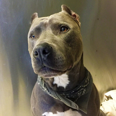 Handsome stray Pit Bull