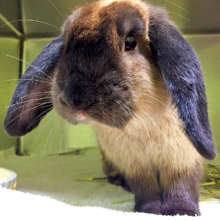 Stray Mini Lop rabbit