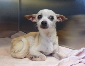 7-year-old Chihuahua with a heart murmur