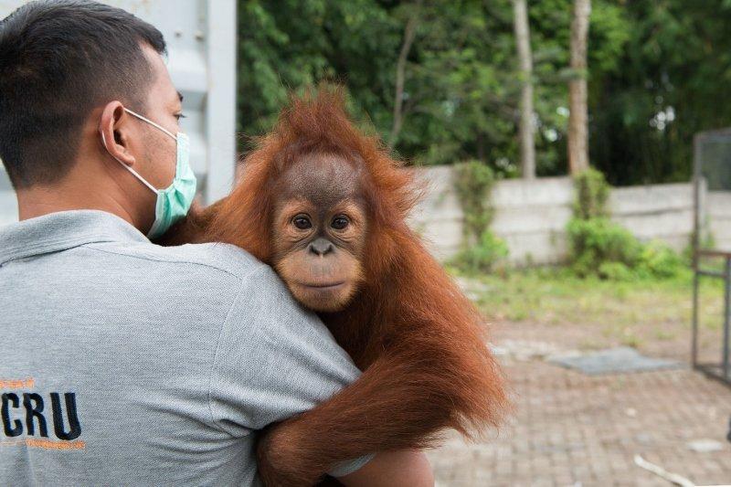 Sumatran Orangutan Society
