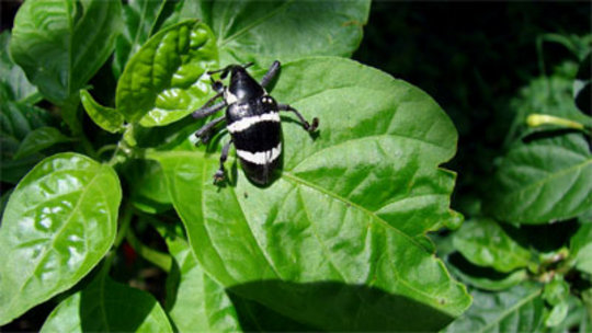 Black and white beetle near Chocuaco