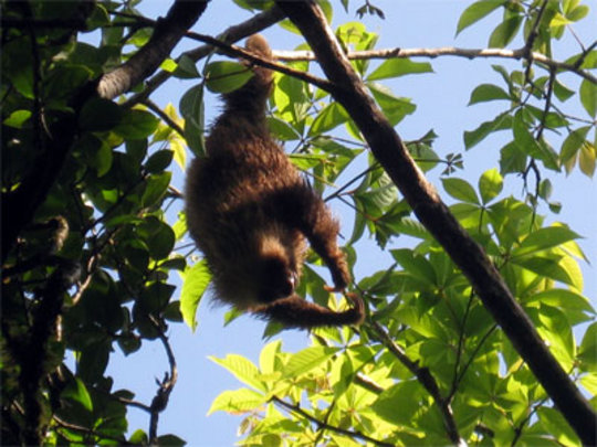 Peluchi the Two-toed Sloth hanging out