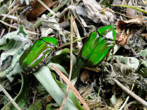Beautiful emerald beetles