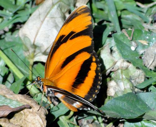 Butterfly in biological corridor