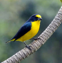 Euphonia, forest connectivity dependent