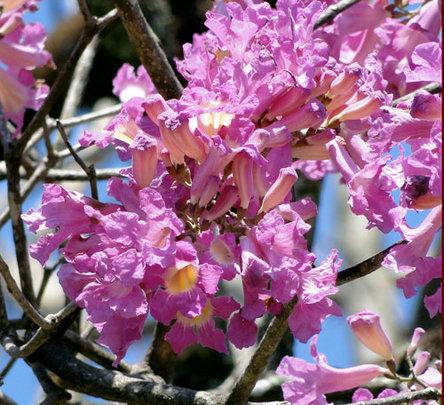 Roble Savana flowers
