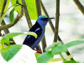 Honeycreeper in the forest cover