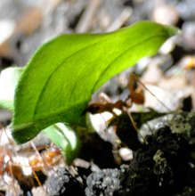 Leafcutter ant with cargo