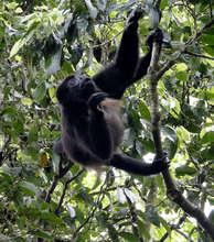 Howler Monkey eating at La Reserva