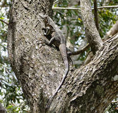 Iguana as part of a tree