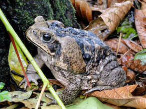 The great toad of Costa Rica. They need shade.