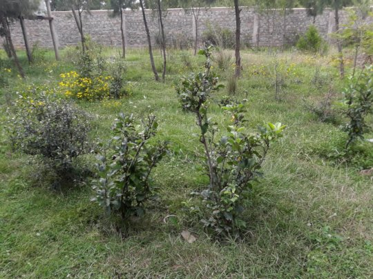 the dwarf apples at the pilot site are doing fine