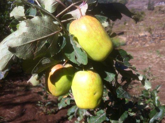 Nice apples
