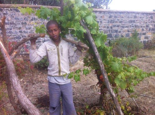 A grape vine we planted is flourishing