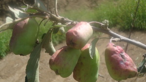 Apple fruits damaged by hail