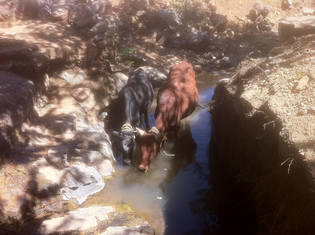 Oxen drinking from a revitalized stream