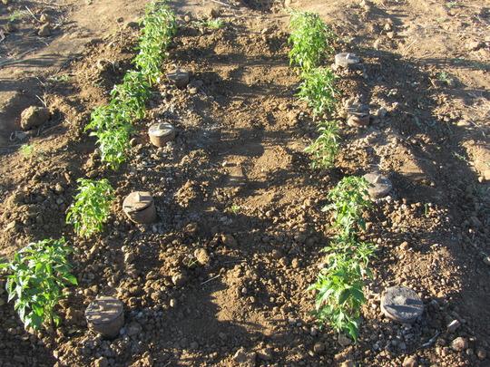 after plantation of the vegetables