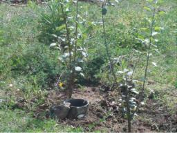 Young apple trees are doing very well