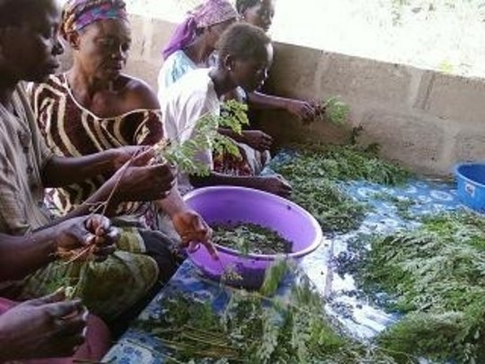 Moringa Cultivation for Sustainable Development