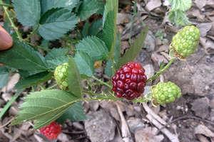 So far we have picked blackberries
