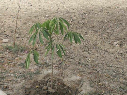 Subal Trees plantation by Local farmers