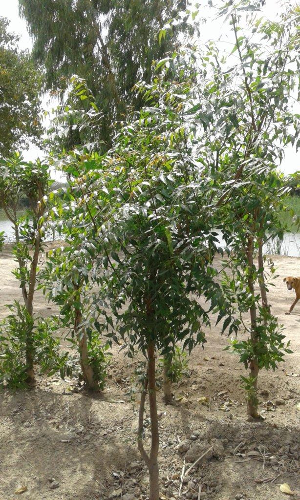 Neem Tree plantation in villages