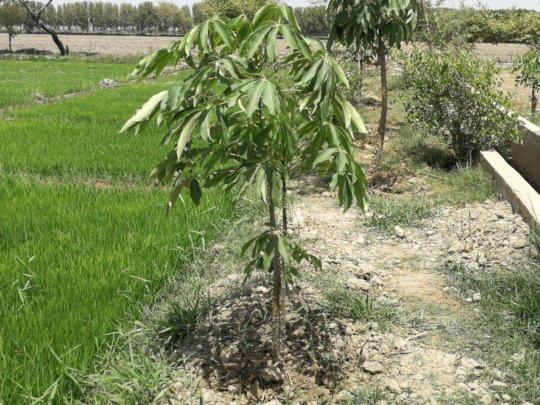 Sumbal Trees Plantation