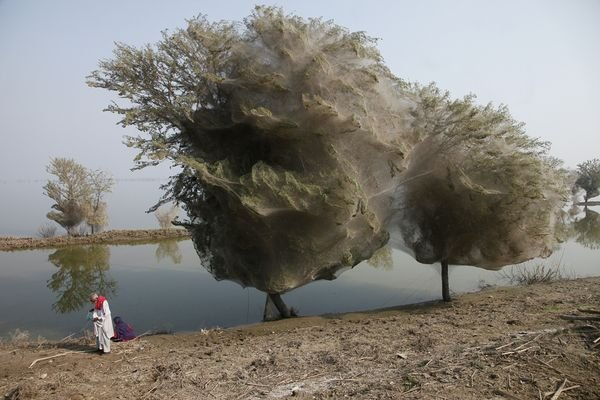 Pakistan-floods-drive-spiders-into-trees-adult