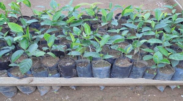Articarpus sp. in Mambasa Nursery