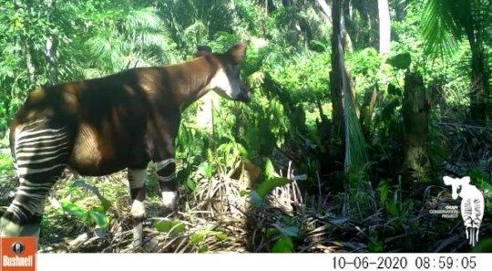 Okapi Grazing on Brush