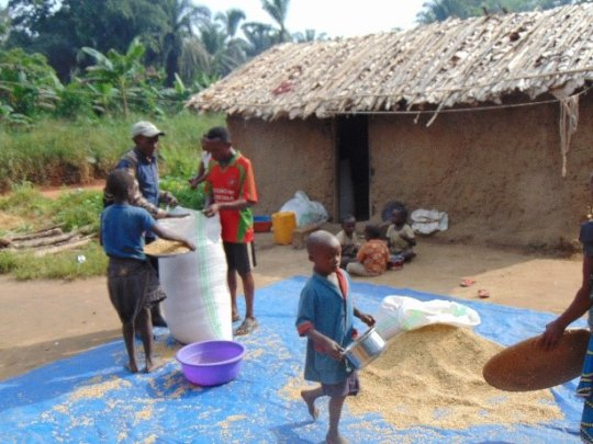 Rice collection in Bapukeli