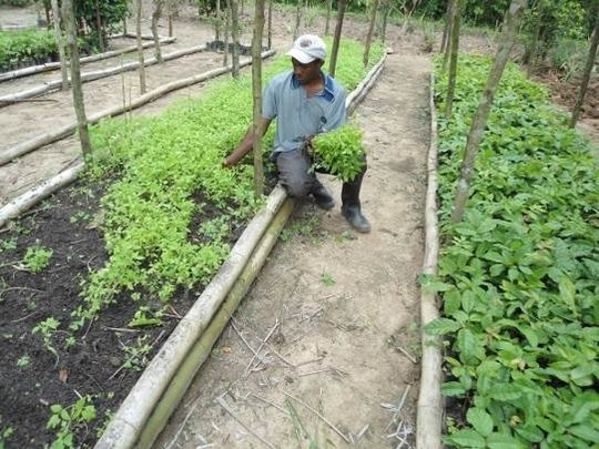 Tomato Plant Nursery