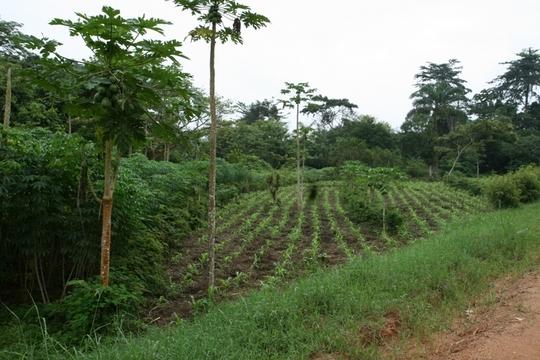 Demonstration Agroforesty Garden, Epulu, DR Congo