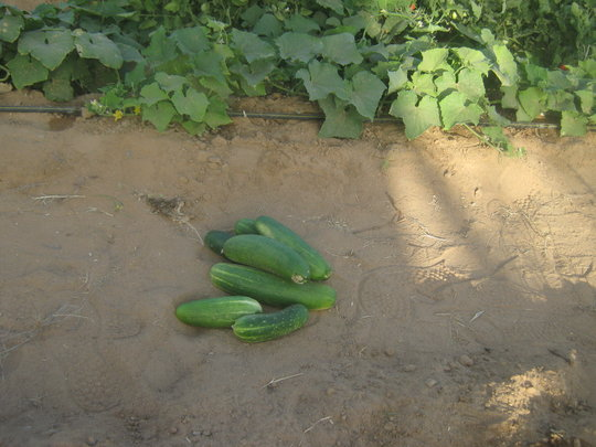 Cucumbers in Soulifett