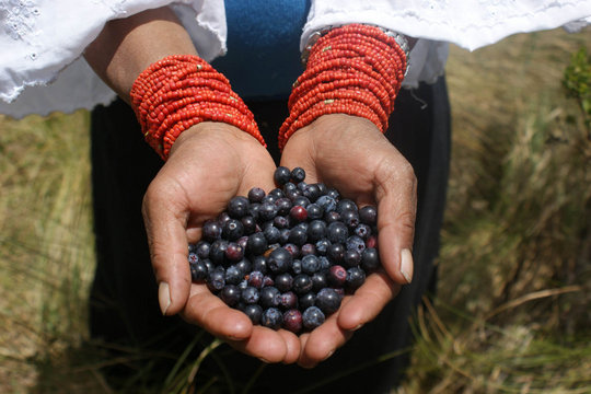 Native Blueberries and Andean Paramo Conservation