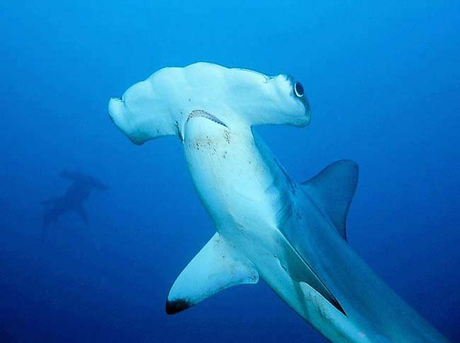 A beautiful--and now protected--hammerhead shark