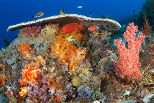 Healthy Reef, Indonesia. Michael Webster, CORAL
