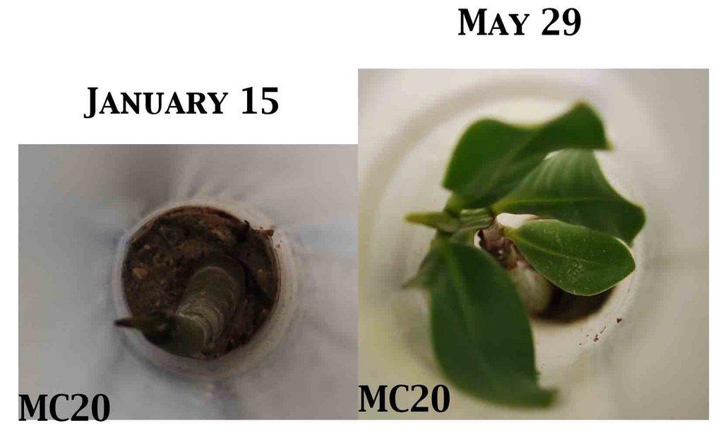 Mangrove growth comparison