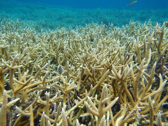 Staghorn coral in Cordelia