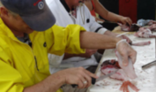 Preparing lionfish for eating