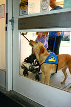 Assistance dog pulling a door open