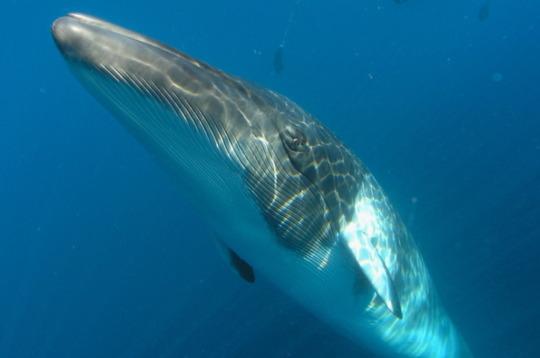 Curious Minke Whale