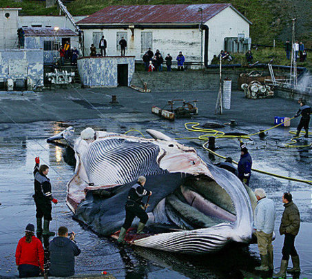Icelandic whalers butchering a fin whale
