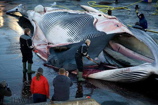 Iceland Whalers Flence Endangered Fin Whale