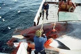 Norway Whalers kill Minke Whale